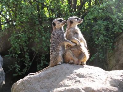 meerkat-756802_640.jpg