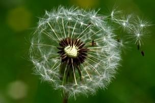 dandelion-2296851_640.jpg